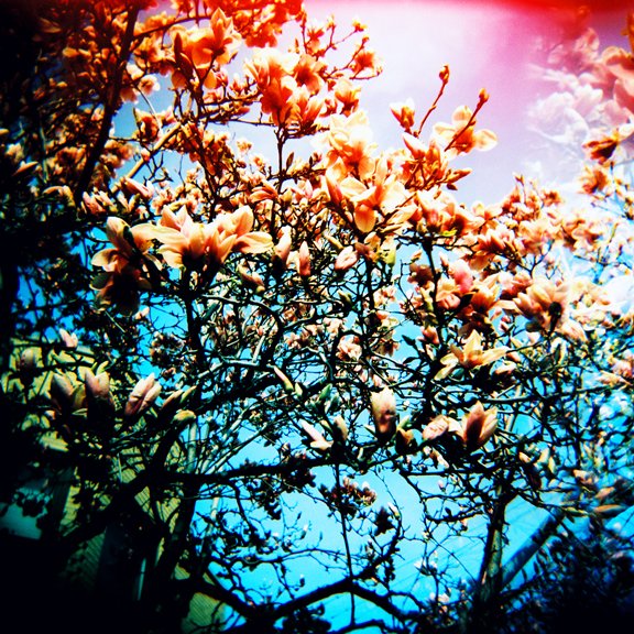 Magnolia Tree Bret Grafton Creative